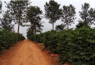 Coffee farm in Kiambu Kirigiti (Ideal for developers)